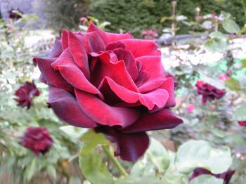 真っ赤な、ベルベットのようなバラ
