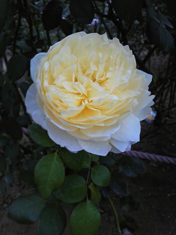 花びらがたくさんあって、ドレスみたいなバラ