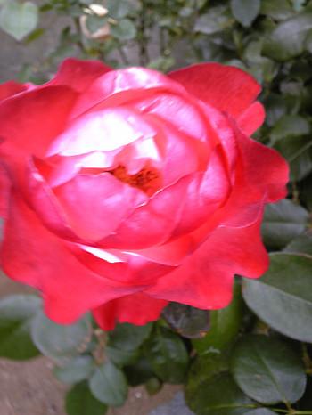 造花みたいな、蛍光色の花びらのバラもありました!